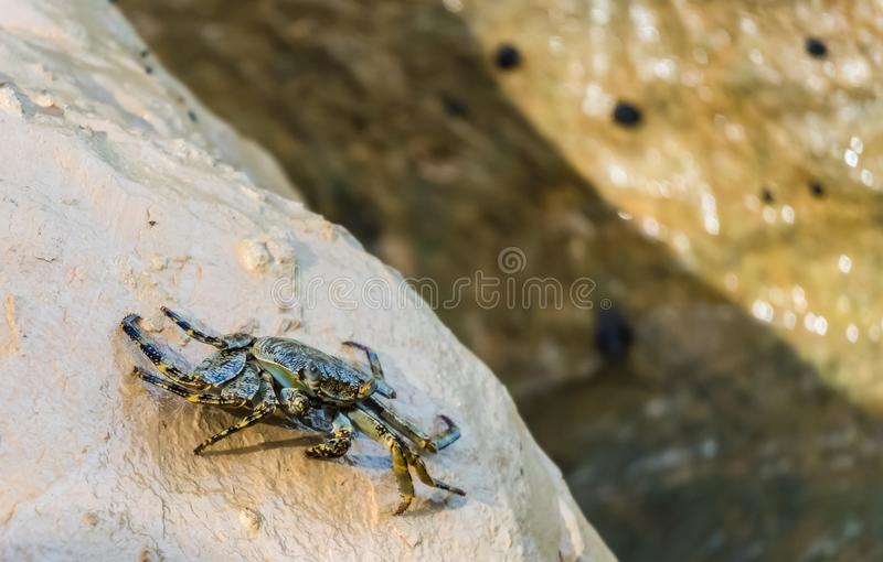 Alive sea crab crawling on the rock down to the sea.  royalty free stock images