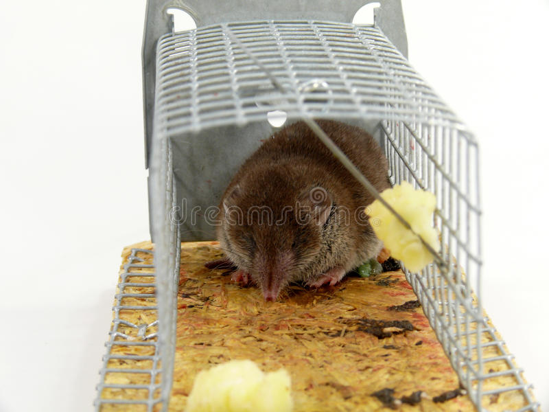 Alive trapped mouse royalty free stock photography