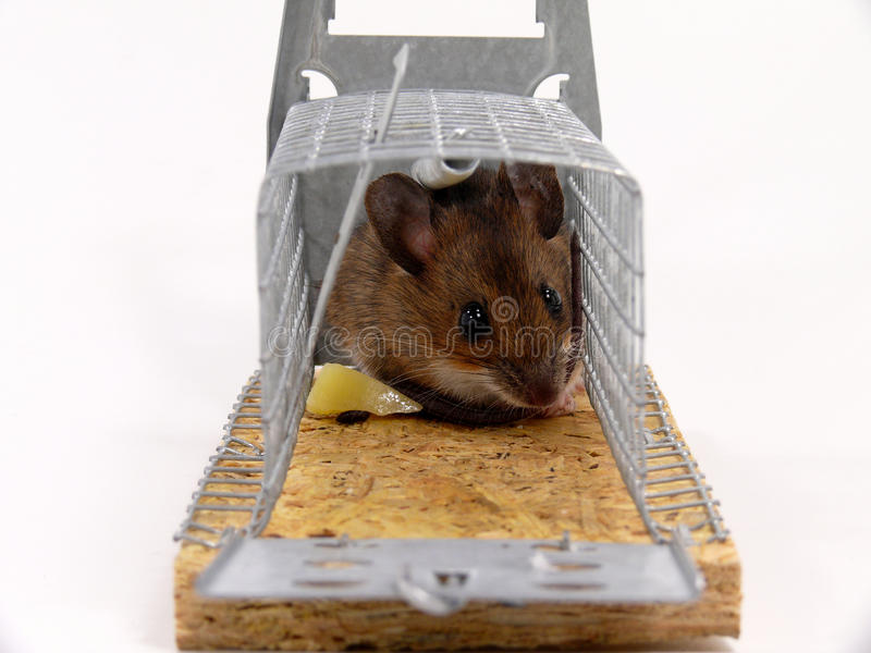 Alive trapped mouse stock photo