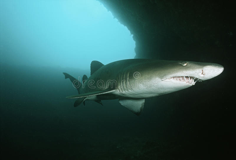 Aliwal浅滩印度洋南非沙子虎鲨(Carcharias金牛座)在水下的洞 图库摄影