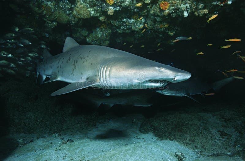 Aliwal浅滩印度洋南非沙子虎鲨(Carcharias金牛座)在洞 免版税库存照片