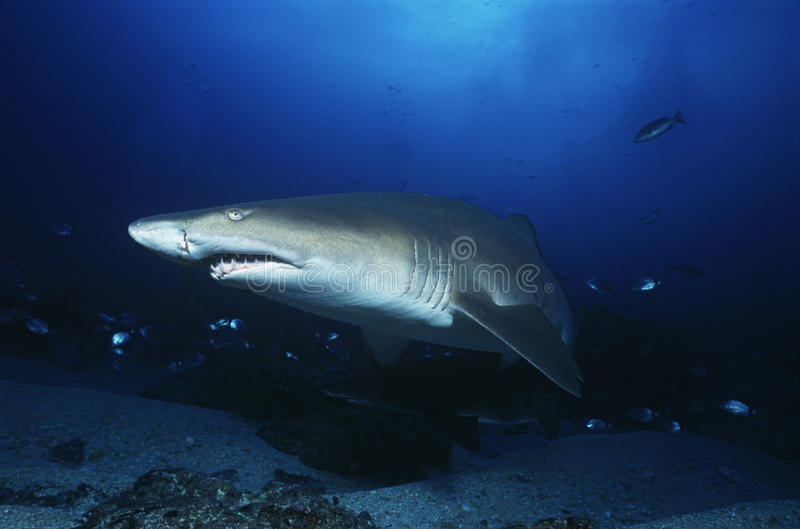 Aliwal Shoal Indian Ocean South Africa sand tiger shark (Carcharias taurus) stock photos