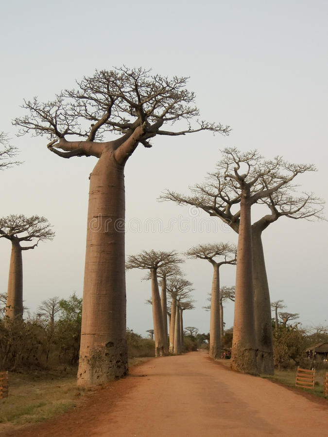all e de baobab au coucher du soleil madagascar image stock image du madagascar g ant 56022309. Black Bedroom Furniture Sets. Home Design Ideas