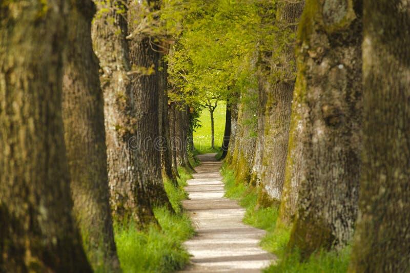 Allée de chêne avec le sentier piéton photographie stock