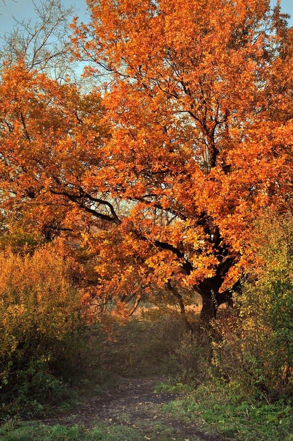 Allée de chêne en automne - paysage d'automne par temps ensoleillé images libres de droits