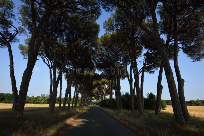 Allée de pin, Toscane, Italie images stock