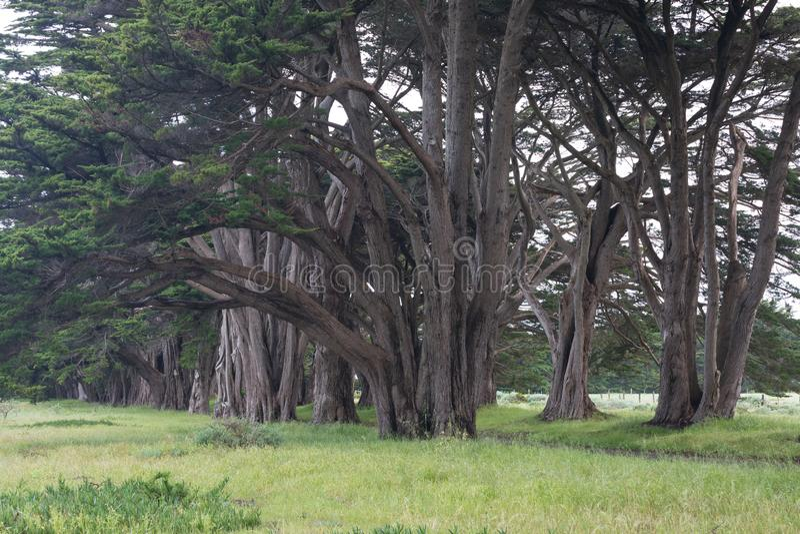 Allée de stupéfaction Cypress au point Reyes National Seashore, la Californie, Etats-Unis Arbres de conte de fées pendant le beau images stock