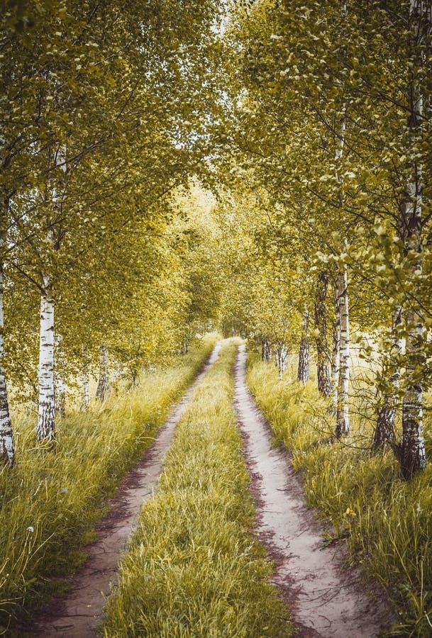 Allée des bouleaux d'automne photographie stock