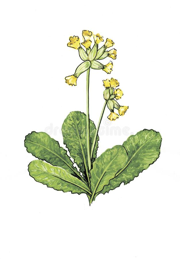 Botanical watercolor illustration of primrose. royalty free illustration