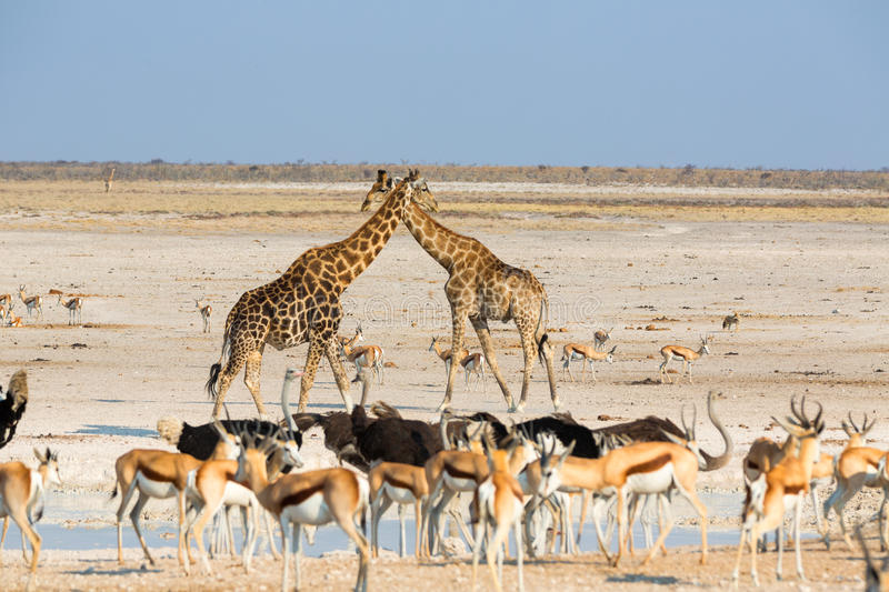 All animals at the water. In Etosha NP, Namibia royalty free stock images