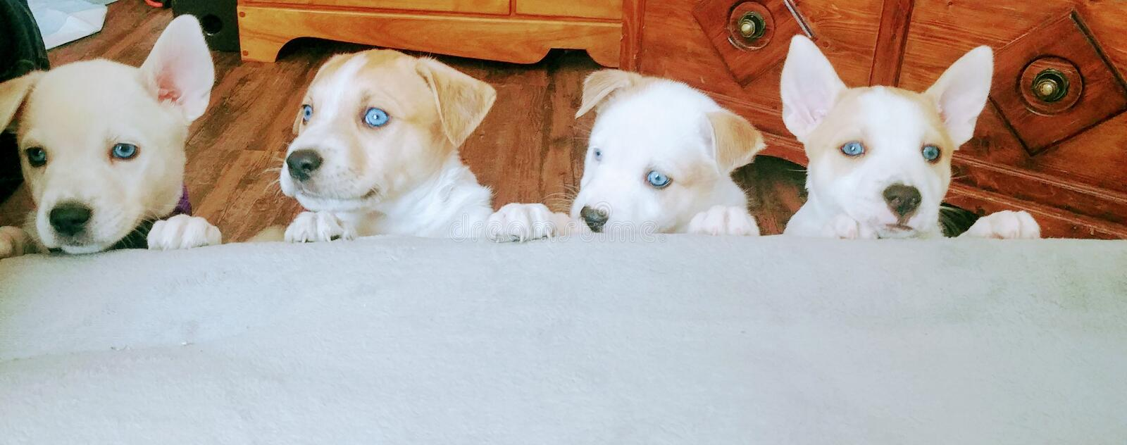 All blue eyes pups royalty free stock images