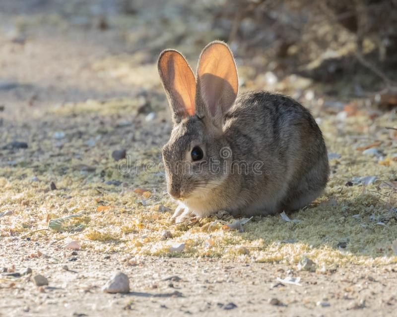 Little Desert Cottontail Rabbit. Of all the desert-dwelling mammals, the desert cottontail is probably the one you will see most frequently. Preyed upon by stock photos
