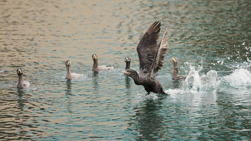 A Cormorant Flight Instructor. Goose  flight instructor is giving flying lessons to the rest of the young team, as they watch the master at work. Abstract, all stock image