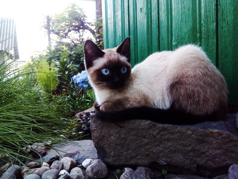 All-fokus katt, Siamese gulligt djur, blåa ögon arkivbild