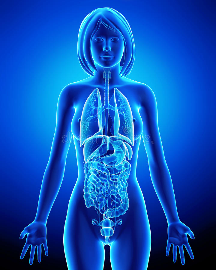 All Organs Of Female Body In Blue X-ray Loop Stock Illustration ...