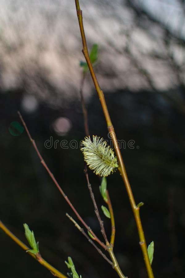 Willow in the evening light royalty free stock images