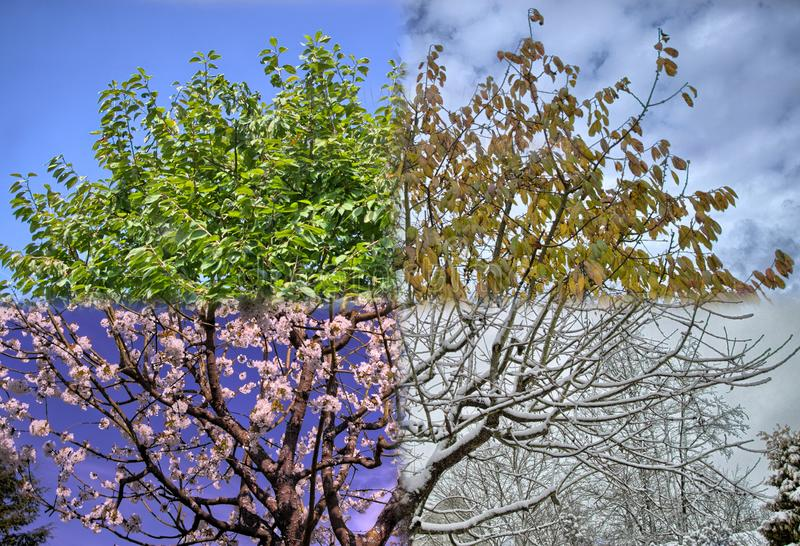 All 4 seasons tree in one photo. All 4 seasons of a tree in just one photo winter spring summer fall royalty free stock photos