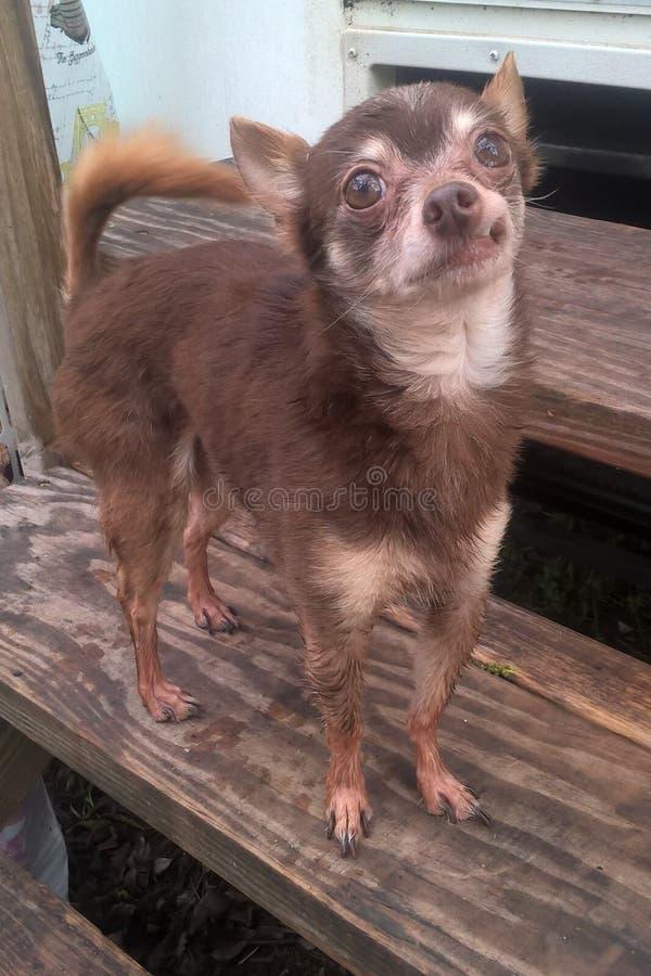 All som Chihuahua är våt royaltyfria bilder