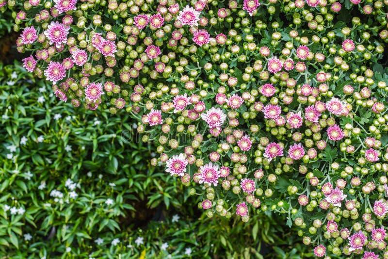 All zinniablomma i trädgård arkivbild