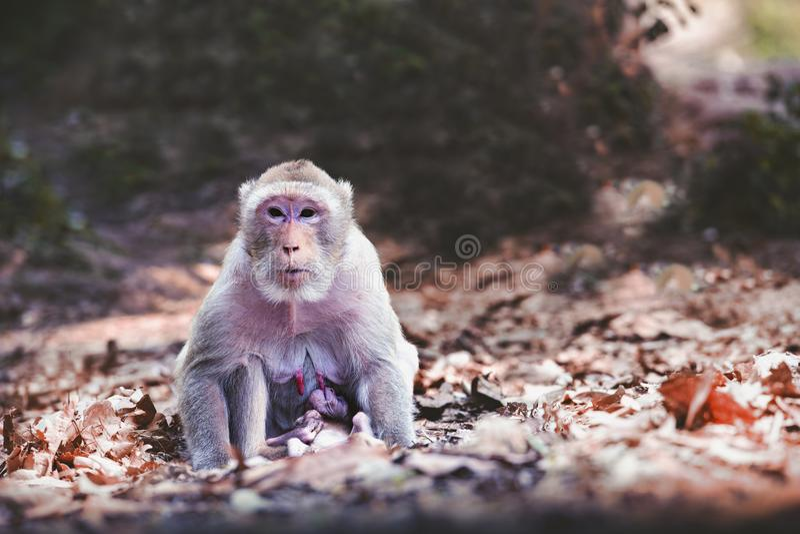 Allaiter le singe photo stock