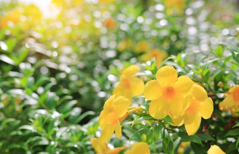 Allamanda-Blumen mit Regentropfen unter Sonnenlicht des Sommergartens stockbild