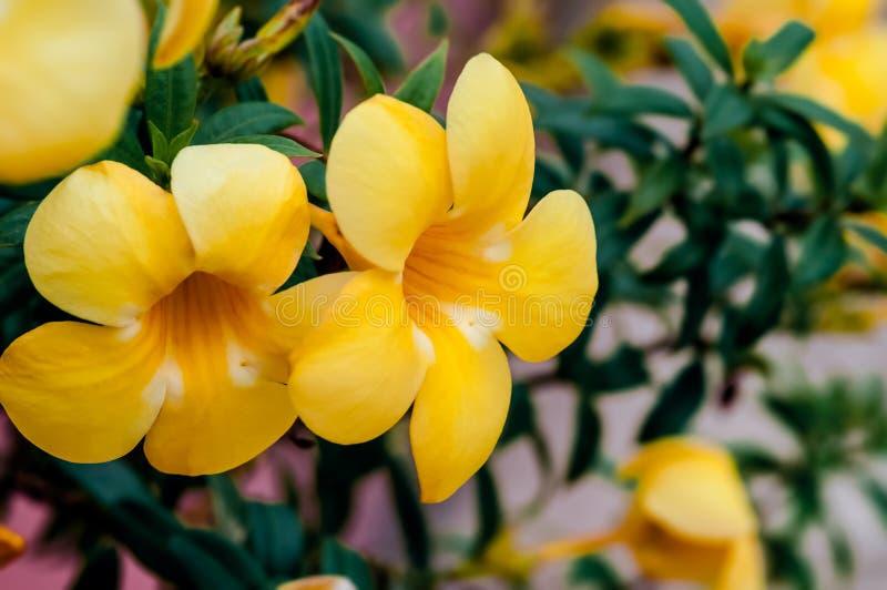 Allamanda cathartica linn złotej trąbki tropikalni kwiaty z leczniczymi własność obraz royalty free