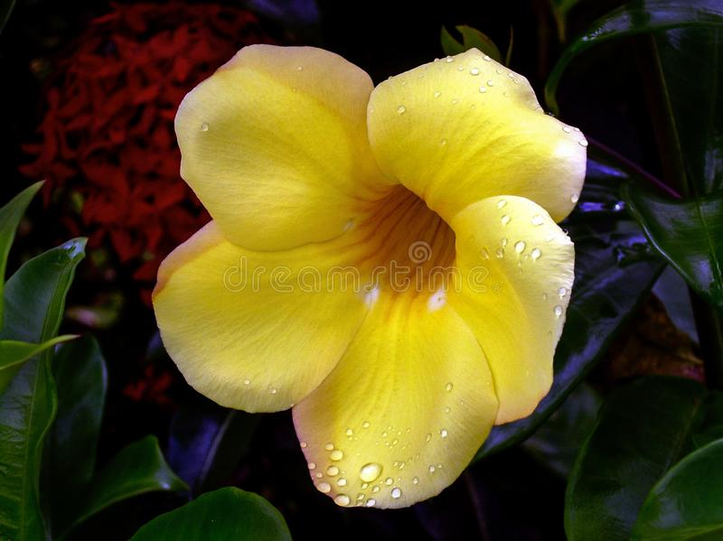Allamanda cathartica Złotej trąbki zbliżenia pięć płatka kwiat zdjęcia royalty free