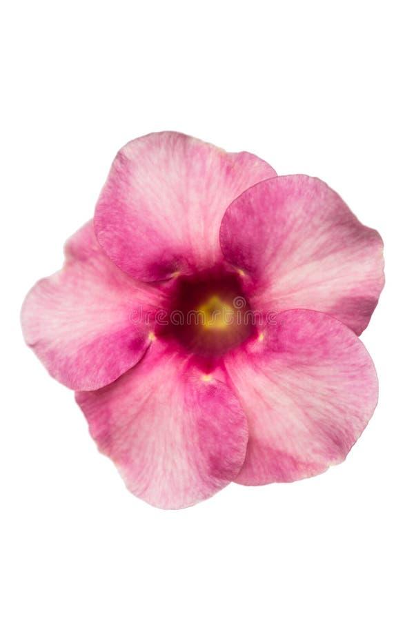 Allamanda flower stock images