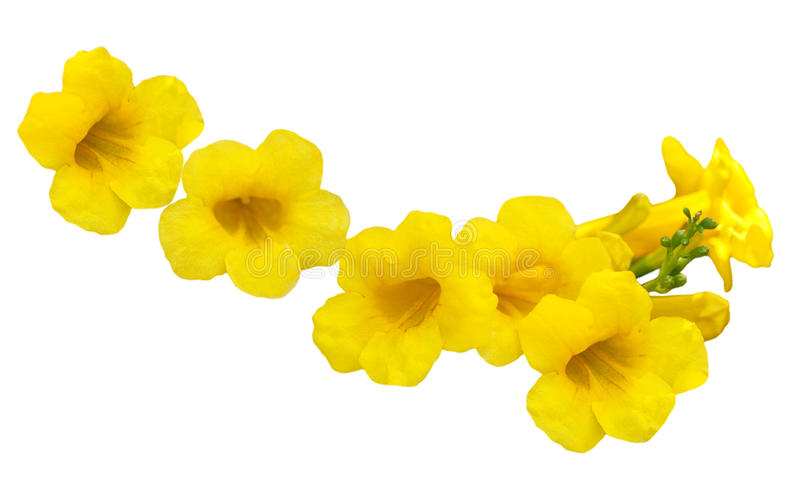 Download Allamanda Golden Trumpet Stock Photography - Image: 11351992