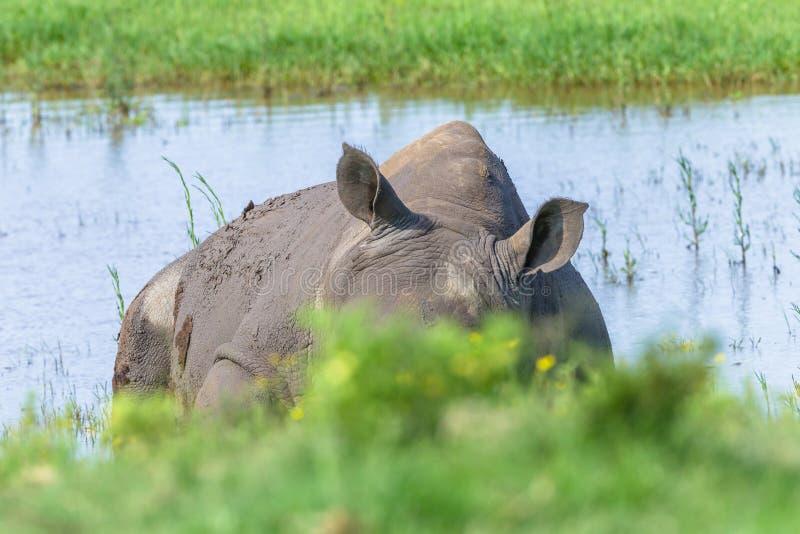 Allarme delle orecchie di sonno di rinoceronte fotografia stock libera da diritti