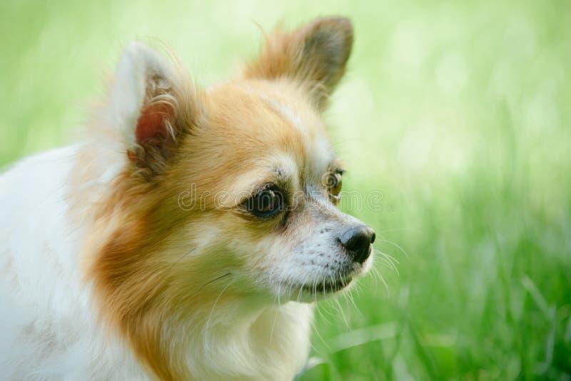 Allarme e curioso Animale domestico del cane all'aperto Passeggiata del cane dello spitz di Pomeranian sulla natura Cane di razza fotografia stock libera da diritti