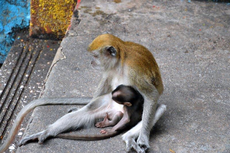 Allattar al senoe scimmia in Kuala Lumpur fotografia stock libera da diritti