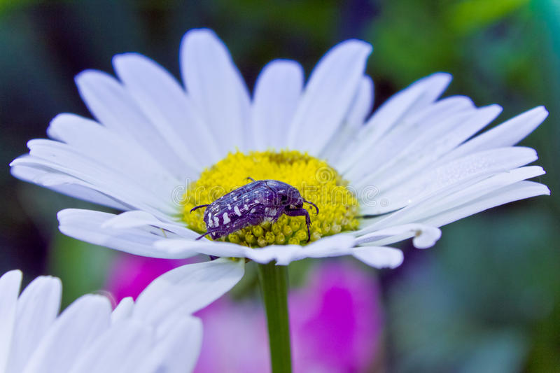 Alleculid beetle. On the white camomile royalty free stock photo