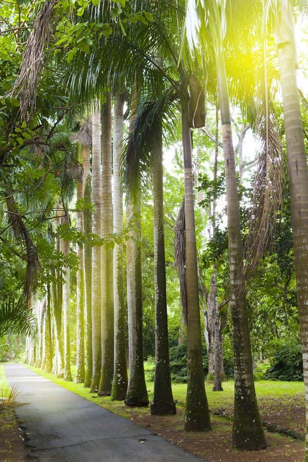 Allee der kubanischen Palmen (Königpalmebaum) auf Mauritius (Roystonea regia) stockfotografie