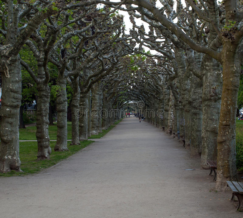 Allee in Frankfurt. With old trees stock photos