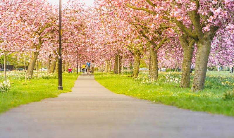 Allee von Kirschbäumen lizenzfreie stockfotos