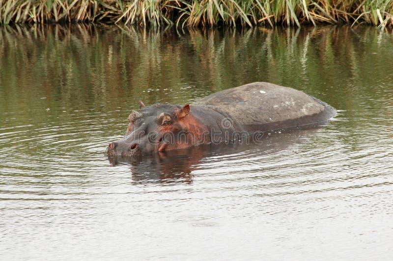Alleen Hippo stock afbeeldingen