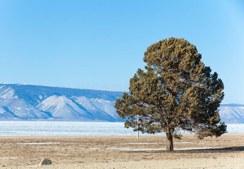 Alleen pijnboomboom op het strand van Olkhon-eiland in bevroren Baikal royalty-vrije stock fotografie