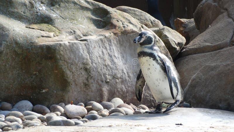 Alleen pinguïn royalty-vrije stock afbeeldingen