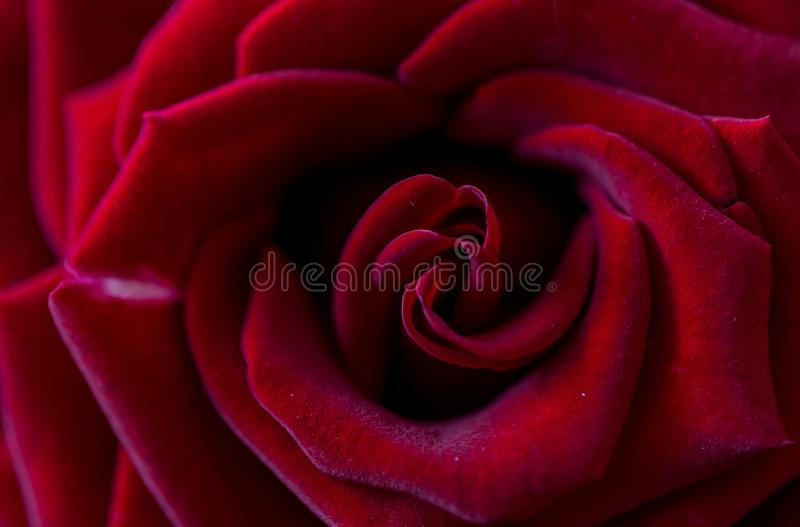 alleen rode roze macrofoto royalty-vrije stock afbeelding