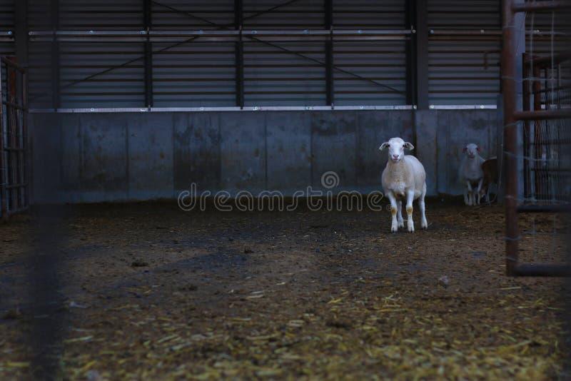 Alleen schapen stock foto's