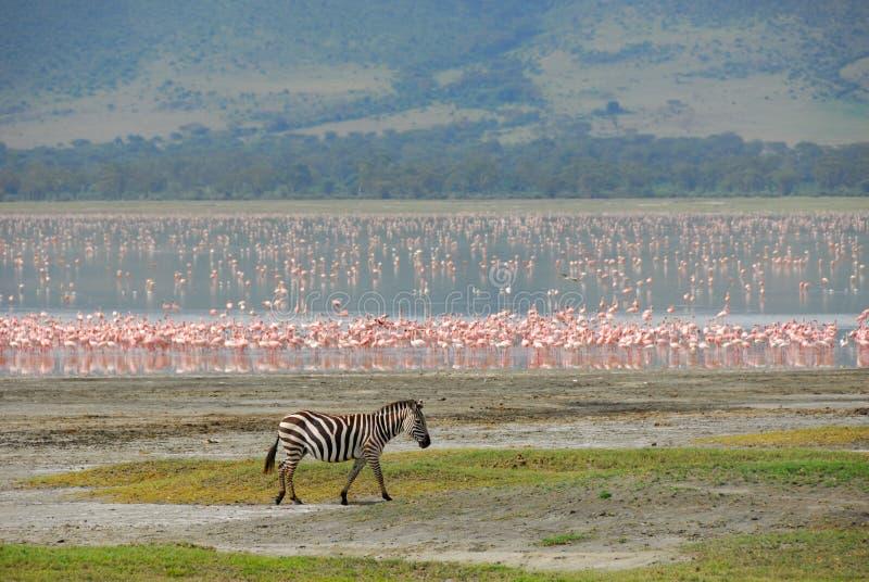 Alleen zebra royalty-vrije stock fotografie