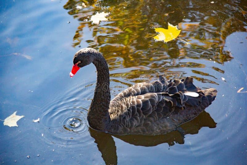 Alleen zwarte zwaan op de kust van het meer in de de herfstdag De vijver wijst op bomen, in de voorgrond gevallen bladeren royalty-vrije stock afbeelding