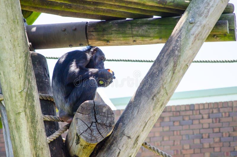 Allein netter Schimpanseaffe, der mit irgendeinem Gemüse sich einzieht stockfotos