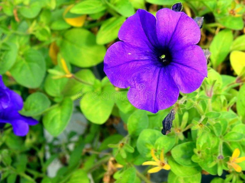 Allein purpurrote Blume stockfotos