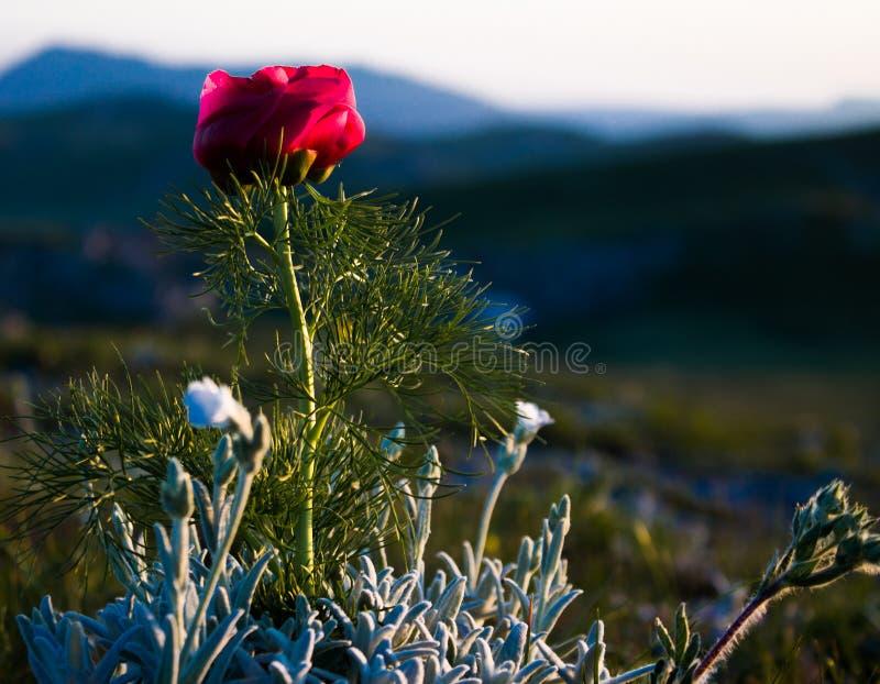 Allein rote Blume stockbild