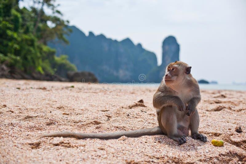 Alleinaffe auf einem Strand lizenzfreies stockfoto