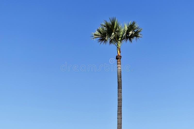 AlleinArengapalme unter blauem Himmel für Hintergrund stockbild
