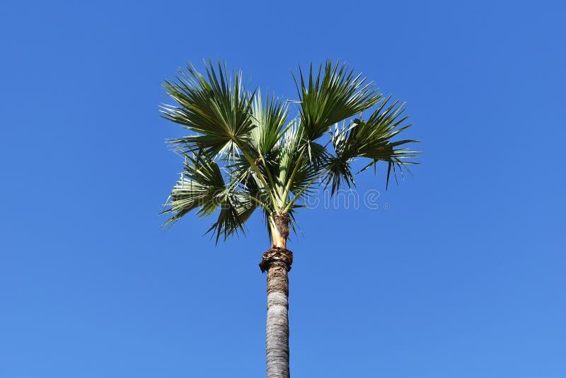 AlleinArengapalme unter blauem Himmel für Hintergrund stockfotos