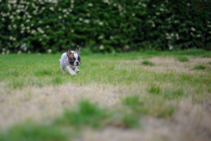 Alleinaußenseite des kleinen Bulldoggenwelpen in der Natur Netter kleiner Freund stockfoto